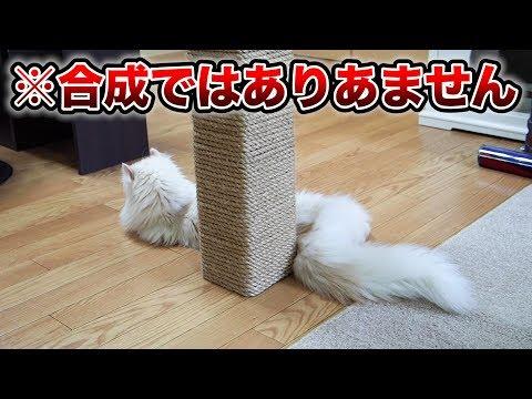 うちの猫が長すぎる件。