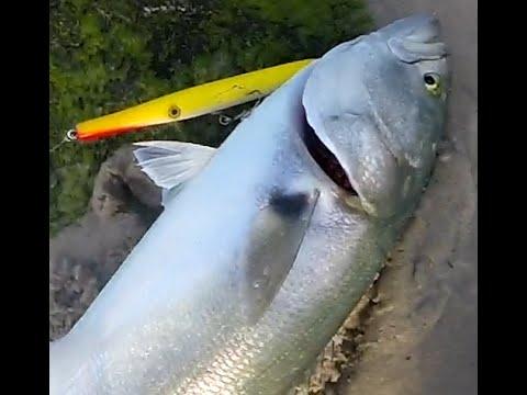 Outdoor beach fun surf fishing 4 long island bluefish with for Long island surf fishing report