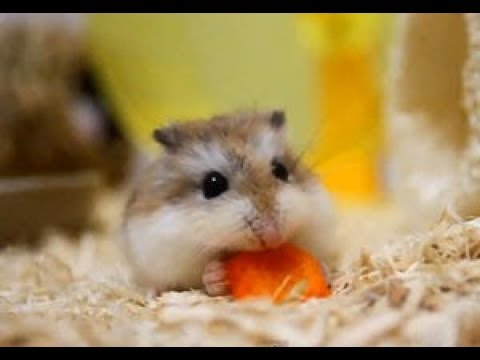 自分にあったハムスターの特徴&種類&性格~Characteristics \u0026 kind \u0026 personality of hamster that  suits me.