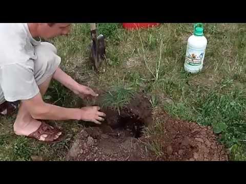 Как правильно посадить сибирский кедр
