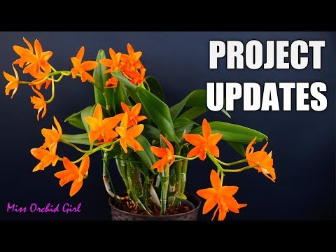 Orchid Projects Updates - Specimen Cattleya, Neofinetia, Tolumnia & More!