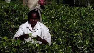 Picking tea near Ella, Sri Lanka