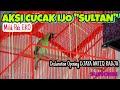 Cucak Ijo Sultan Milik Pak Eko Declartion Opening Djaya Antiq Sultan Akbar  Mp3 - Mp4 Download