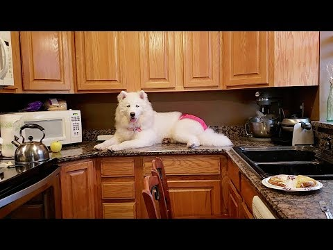 Stubborn Husky Dog | Refuses To Get Off Kitchen Counter!