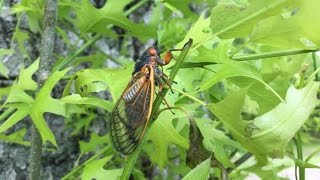 2016 Cicada FIRST SIGHTING in Pennsylvania