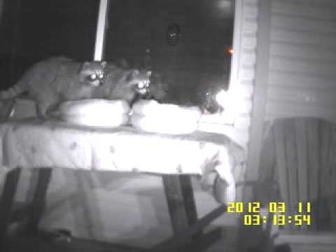 Two raccoons make beds, sniff bum 3