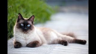 Siamese Cat | Top Cat Breeds