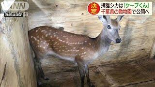 荒川で捕獲のシカ「ケープくん」に 動物園で新生活(20/06/08)