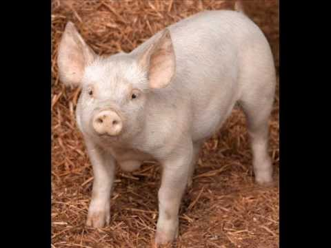 pig noise - YouTube