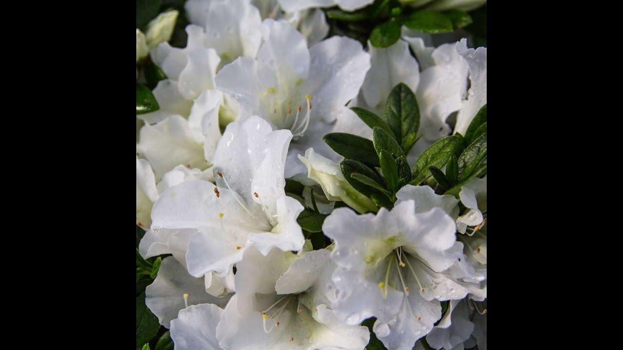 Азалия японская, посев семенами