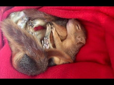 Geçtiğimiz yıl yuvalarının bulunduğu ağaç yanlışlıkla kesilen beş yavru sincap
