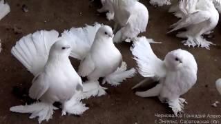 1 клип.2014 г.Статные голуби Черновалова. Г
