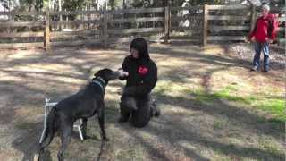 Kyle, Lab, Episode 16 (muzzle Dog Training & Fear Aggression Exercises - Sit Up N Listen