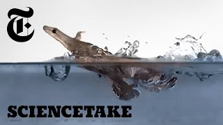 These Geckos Can Run on Water (Sort Of) | ScienceTake