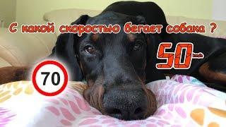 С какой скоростью бегает собака ?