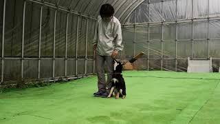 ぐりくん(柴犬) 服従訓練 しっかりルールを守って行動出来るように 頑張...