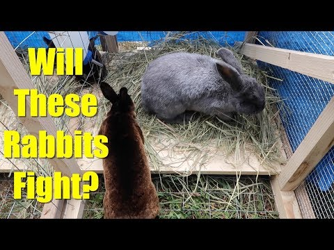 Will These Rabbit Does Fight? Introducing Rabbits To The Rabbit Tractor