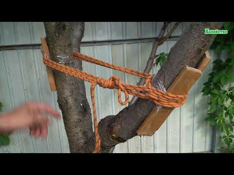 Треснул персик от плодов. Скрепляем и укрепляем ствол дерева