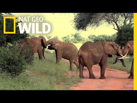 Elephants Lock Tusks In Brawl   Nat Geo Wild