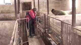 Запрет на содержание свиней в личных подсобных хозяйствах