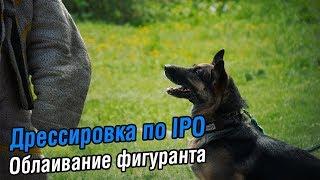 Дрессировка по IPO | Облаивание фигуранта в укрытии