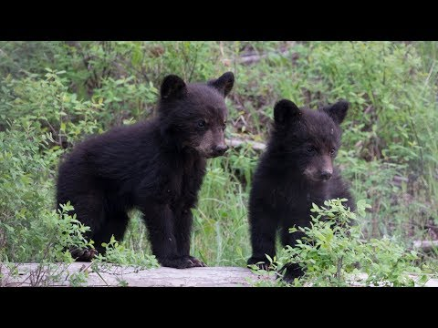 Black Bear Female and Her Cubs in Yellowstone National Park