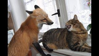 Интересная жизнь лисёнка и кошки и интересные игры животных Невероятные и необычные друзья