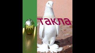 турецкие голуби ТАКЛА . такла бой и лёт нашей молодёжи (pigeons Takla) (الحمام تقلا)