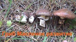 Развитие масленка масленок тайга Лекарственные растения полей и лесов тихая охота грибы сбор грибов