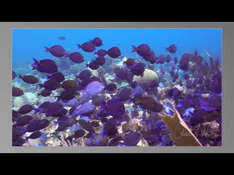 Blue Tangs grazing at Sea Star Channel, Roatan, Hondursa