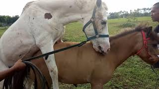 Kuda Putih Kawin