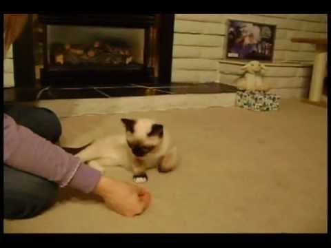Siamese Kitten doing tricks!
