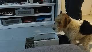 fox terrier obédience training 9