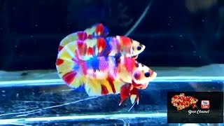 Ikan Cupang Plakat Fancy multi colour Rainbow Fancy