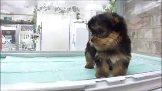 DOG Stage ドッグステージ http://www.dog-stage.com/yt_puppy.html ヨ...