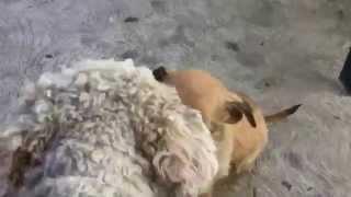 Chihuahua Poodle (cruza De Chihuahua Con French Poodle)