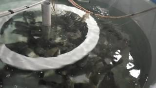 養殖顺壳鱼(筍殼魚)