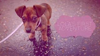 Dachshund Puppy Lola's First Adventure