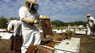Harvard Researcher Discovers Cause Of Honeybee Colony Collapse Disorder