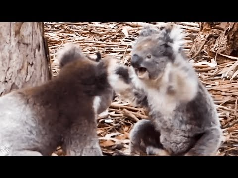 Don Action Jackson - Those Cute Koalas Actually Fight... And Fight HARD!