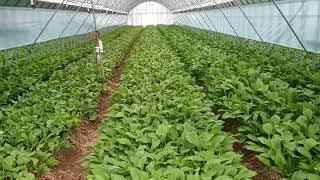 산마늘 재배 수확후 관리 (비가림 재배)