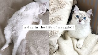 What it's REALLY like having a RAGDOLL Kitten! (Full Realistic Day In The Life)