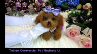Pocket Teacup Poodle Natasha