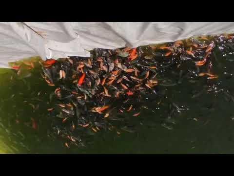 Mixed Fish Farming (koi Carp, Thilapia, Red Thilapia, Nutter, Anabus, Gourami)