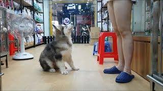 Bán chó Alaska và chó Pug rẻ như rau ngoài chợ nên PUGK PET nhộn nhịp cả tuần =))