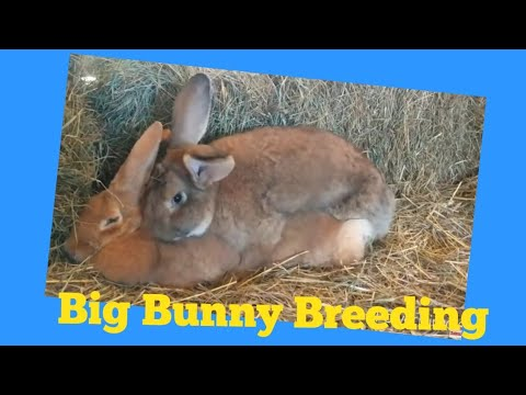 Giant Bunnies How To Breed Them 25 Plus Pound Flemish Giants