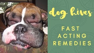 Dog With Hives? Fast Acting Remedies