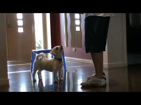 Marvelous Marley- Australias most talented pet- a boxing dog who can perform many other tricks