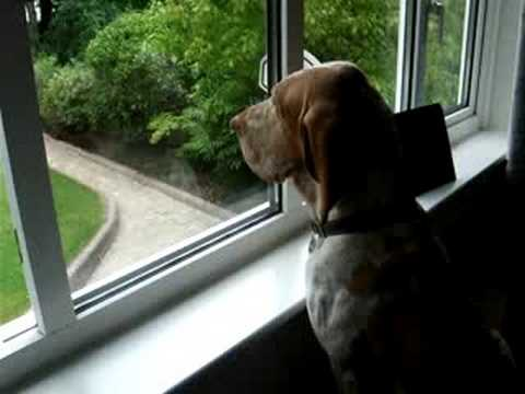 BRACCO ITALIANO LOOKING OUT OF THE WINDOW