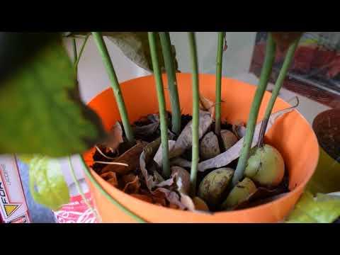 Вопрос: Как растет авокадо Как выглядит растение авокадо?
